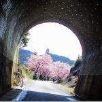 河津桜の季節!新城「観光」自転車旅!