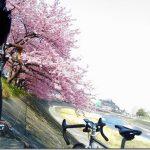 岡崎市 竜美丘会館前 乙川の「葵桜」花見サイクリング