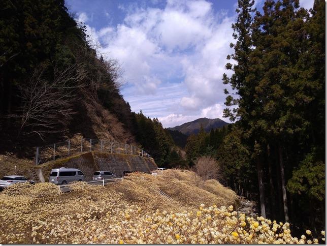 愛知県新城市高松ミツマタ群生地