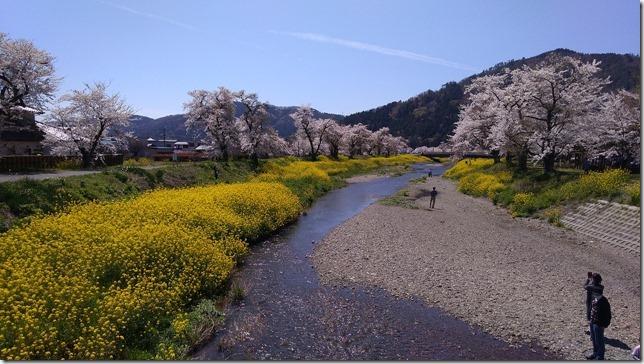 余呉川桜と菜の花のコラボ