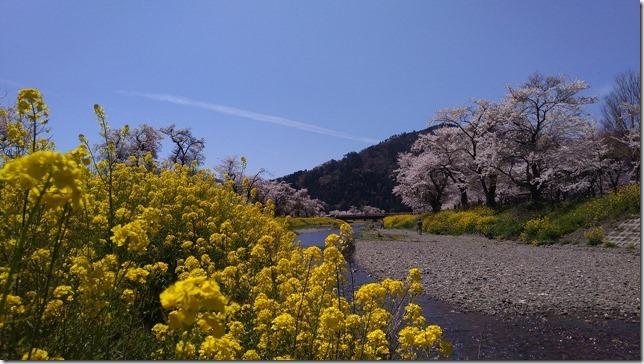 余呉川の桜と菜の花画像