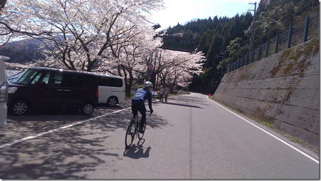 海津大崎の桜サイクリング画像1