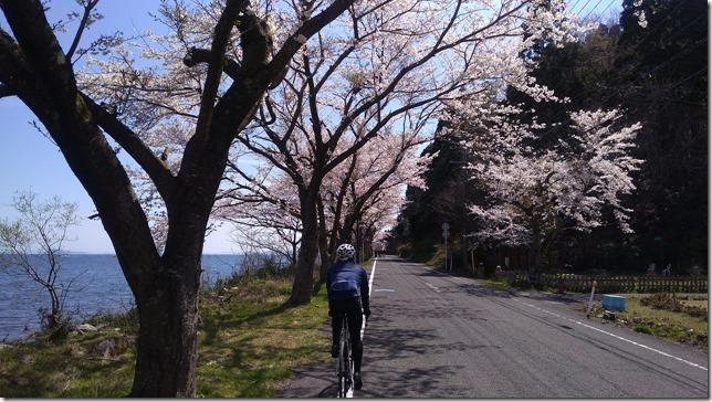海津大崎の桜サイクリング画像2