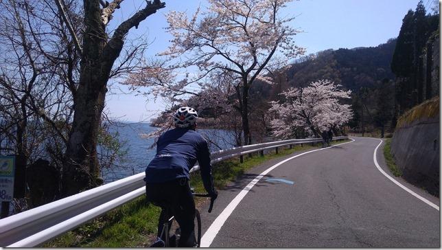 海津大崎の桜サイクリング画像3