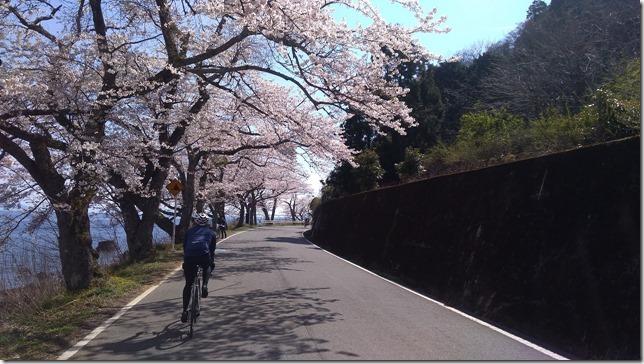 海津大崎の桜サイクリング画像5