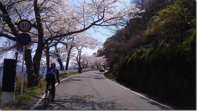 海津大崎の桜サイクリング画像6